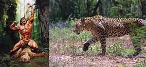 mountain gorilla vs leopard Gallery