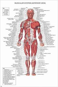 Muscular System Medical Educational Poster 24x36