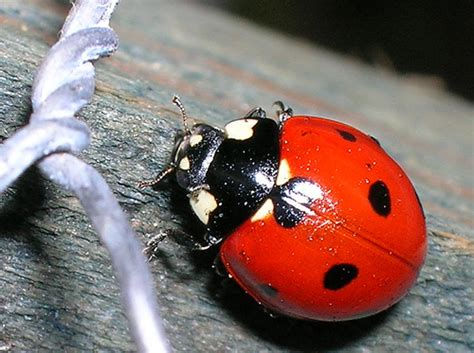 ladybug vs asian beetle xtreme bugs exhibit brookfield zoo chicago il