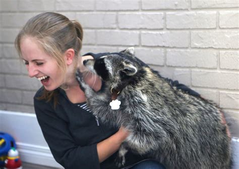 raccoons as pets raccoons aren t pets are they anbi 110 introductory animal bioscience