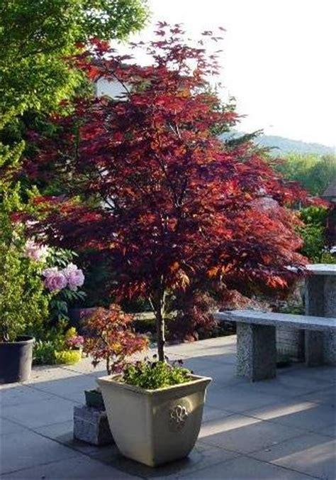 japanischer ahorn topf bonsai dipietro