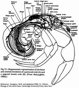 04  The Anatomy And Lifecycle Of The Hermit Crab