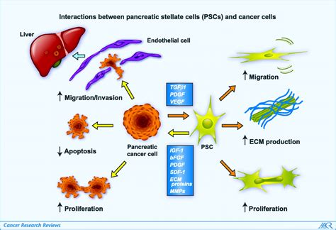 pancreatic stellate cells  pancreatic cancer cells