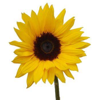 bulk baby s breath small sunflowers
