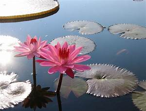 Water Lily (Nym... White Water Lily Quotes