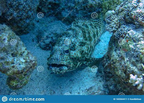 greasy epinephelus upward mouth grouper arabian lurks prey facing rather thick wide een dik nogal brede prooi opwaartse mond hebben