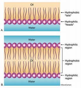Phospholipid Layer  U0026 Bilayer