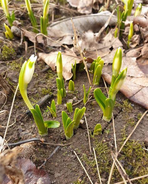 Pavasaris ir klāt😍🥰 Jau pirmie sniegpulkstenīši dārzā iz ...