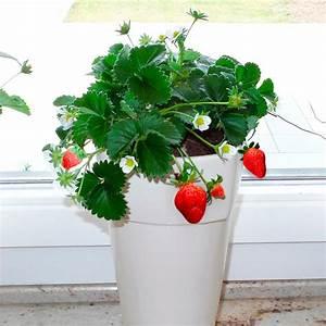 Immergrüne Pflanzen Für Balkonkasten : erdbeerpflanze fridulin terralin getopft online kaufen bei g rtner p tschke ~ Markanthonyermac.com Haus und Dekorationen