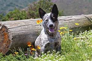 Australian Cattle Dog Breed Pictures and Information ...