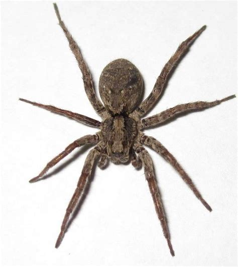 Garden Spider Toxicity by Best 25 Spider Identification Ideas On Insect