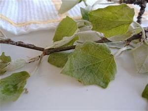 Was Ist Das Für Ein Baum : was ist das f r ein baum populus canescens baumkunde forum ~ Buech-reservation.com Haus und Dekorationen