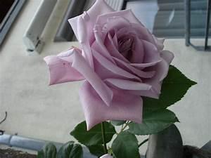 Mainzer Fastnacht Rose : mainzer fastnacht rose myroses rose und flowers ~ Orissabook.com Haus und Dekorationen