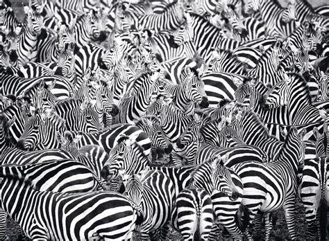 zebra challenge  piece puzzle ravensburger