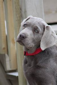 Silver Lab Puppies  Our Beautiful Labrador Retriever