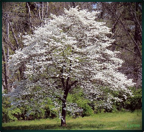 dogwood tree blooms dogwood tree in bloom flickr photo sharing