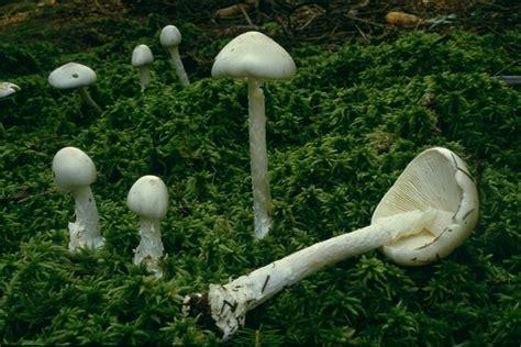 Weiße Pilze Im Garten Giftig by Weiafae Pilze Im Garten