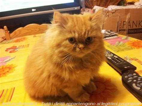 accoppiamento gatti persiani cuccioli persiani point crema e bicolori