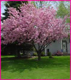 flowering pear tree dave flickr