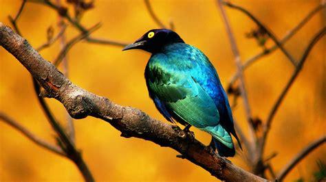 blue bird wallpapers hd wallpapers id