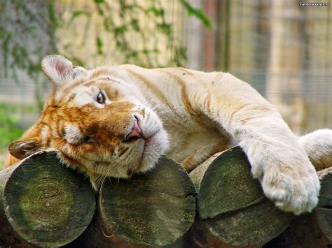 Pets Animals Golden Tiger