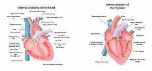 Pig Anatomy And Terminology
