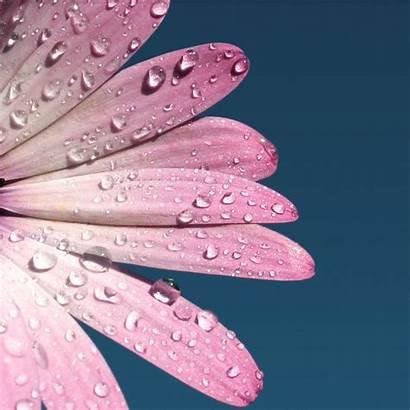 Ipad Daisy Pink Flower Wallpapers Macro Dew