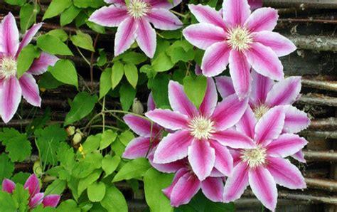 Kletterpflanzen Mit Blüten by Kletterpflanzen Erstes Aachener Gartencenter