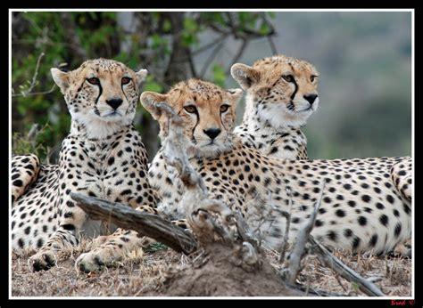 coalition  cheetahs mum    cubs