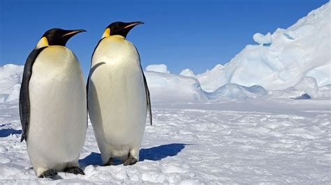 Penguin Hd Wallpaper, Picture, Image