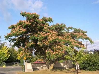 Tree Albizia Nz Julibrissin Silk Trees Pink