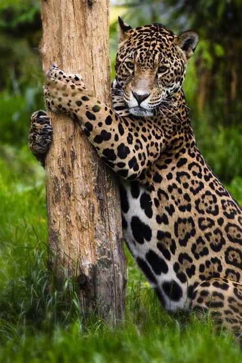 coolest jaguar cat best 25 jungle animals ideas on panther