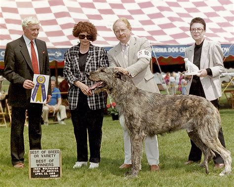 wolfhound non shedding wolfhound club of america inc to