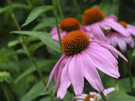care of coneflowers purple coneflower care gardening uses all you need to know purpleflower org
