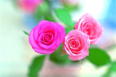 Pink Rose Flower Wallpapers  Wallpaper Cave