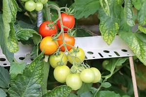 Tomaten Wann Pflanzen : tomaten pflanzen der richtige abstand und platzbedarf ~ Frokenaadalensverden.com Haus und Dekorationen