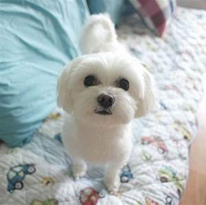 Cute Small White Dog Breeds Quotes Dogs Pictures - Litle Pups