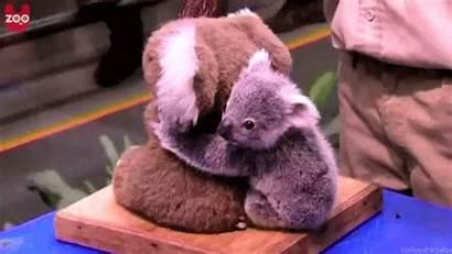 Koala Gifs Giphy