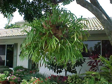 how to plant a staghorn fern in a hanging basket staghorn fern