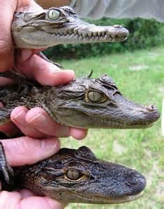 Baby Crocodiles and Alligators