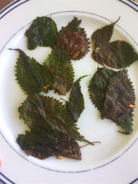 Spring Foraging 5 Ways To Use Stinging Nettle Herbal