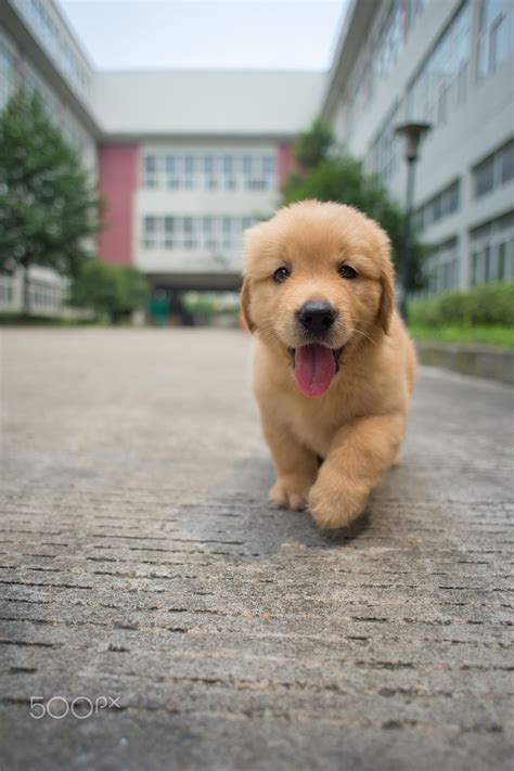 Happy Golden Retriever Baby Golden Retriever Puppies