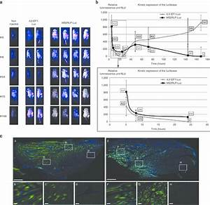 In Vivo Rna Delivery By Ms2rlps   A  Bioluminescence In