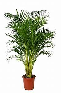 Kentia Palme Braune Blätter : palme test o vergleich oktober 2018 ~ Watch28wear.com Haus und Dekorationen