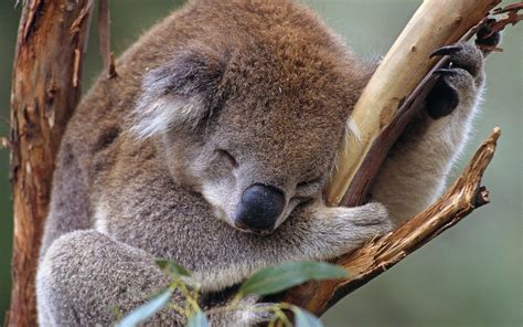 koala wallpapers wallpaper cave