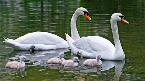 water birds family animals swans baby birds wallpaper