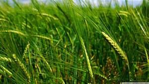 Download Green Wheat Spikes Wallpaper 1920x1080 ...