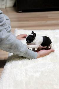 Teacup French Bulldogs Bulldog - Litle Pups