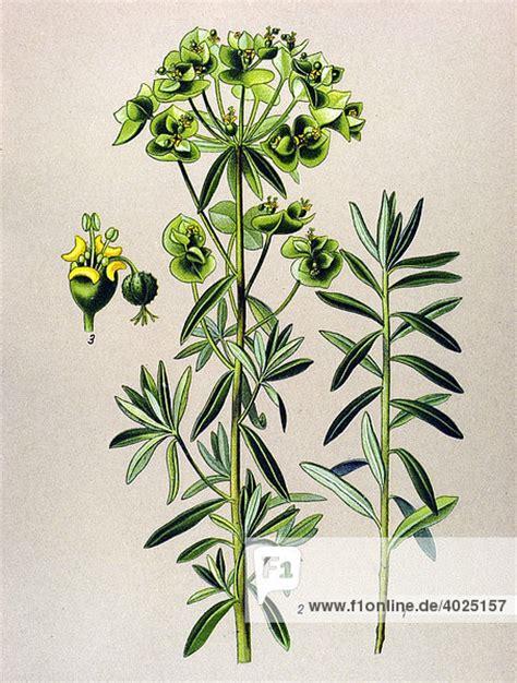 Historische Illustration, Gartenwolfsmilch (euphorbia