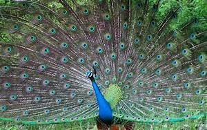 Beautiful peacock wallpapers and images - wallpapers ...